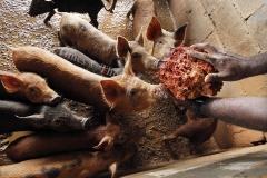 Feeding pig from the red soil at Bureni piggery farm in Waibau, Naitasiri. Picture ATU RASEA