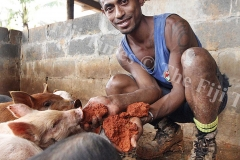 Asivurusi Senikaucava feeding his baby pig with the red soil at his Bureni piggery farm in Waibau, Naitasiri. Picture ATU RASEA